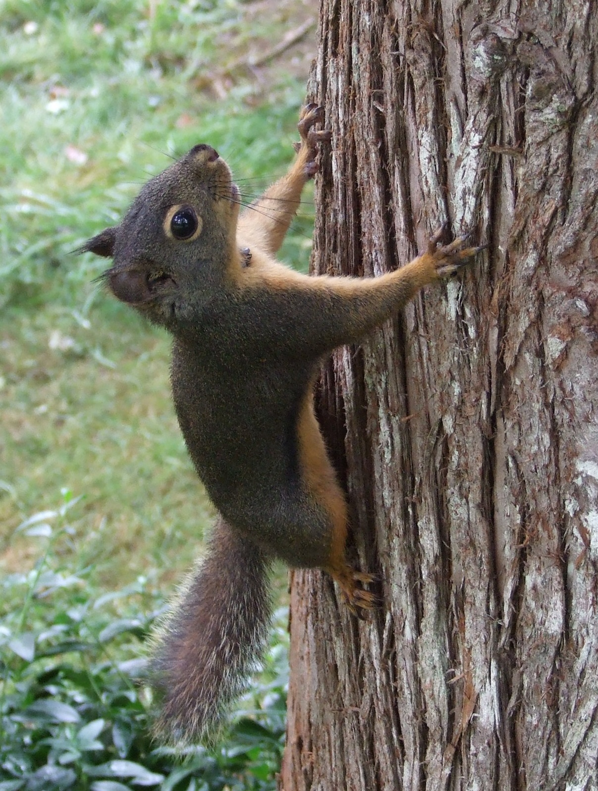 My wife enjoyed playing hide-and-peek with Douglas Squirrels inquisitivly running around tree trunks