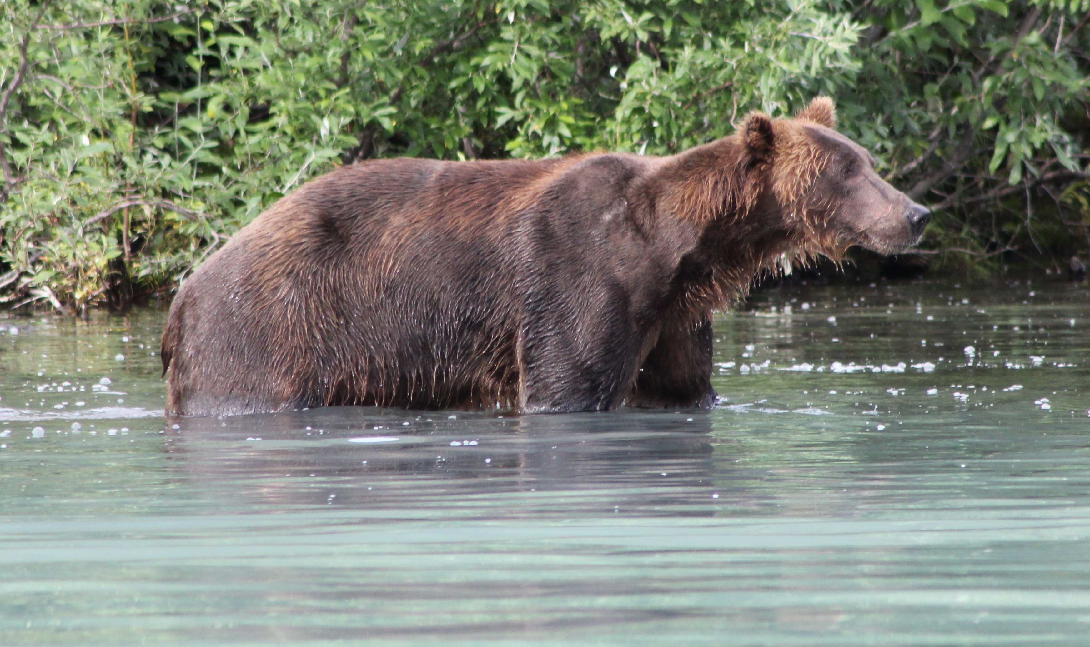 The only Brown Bear species larger than the Coastal Brown Bear is the genetically distinct subspecies the Kodiac Bear (Ursus arctos middendorffi). The omnivorous Coastal Brown Bears we saw had grown to their huge size due to the protein rich diet provided by this environment.