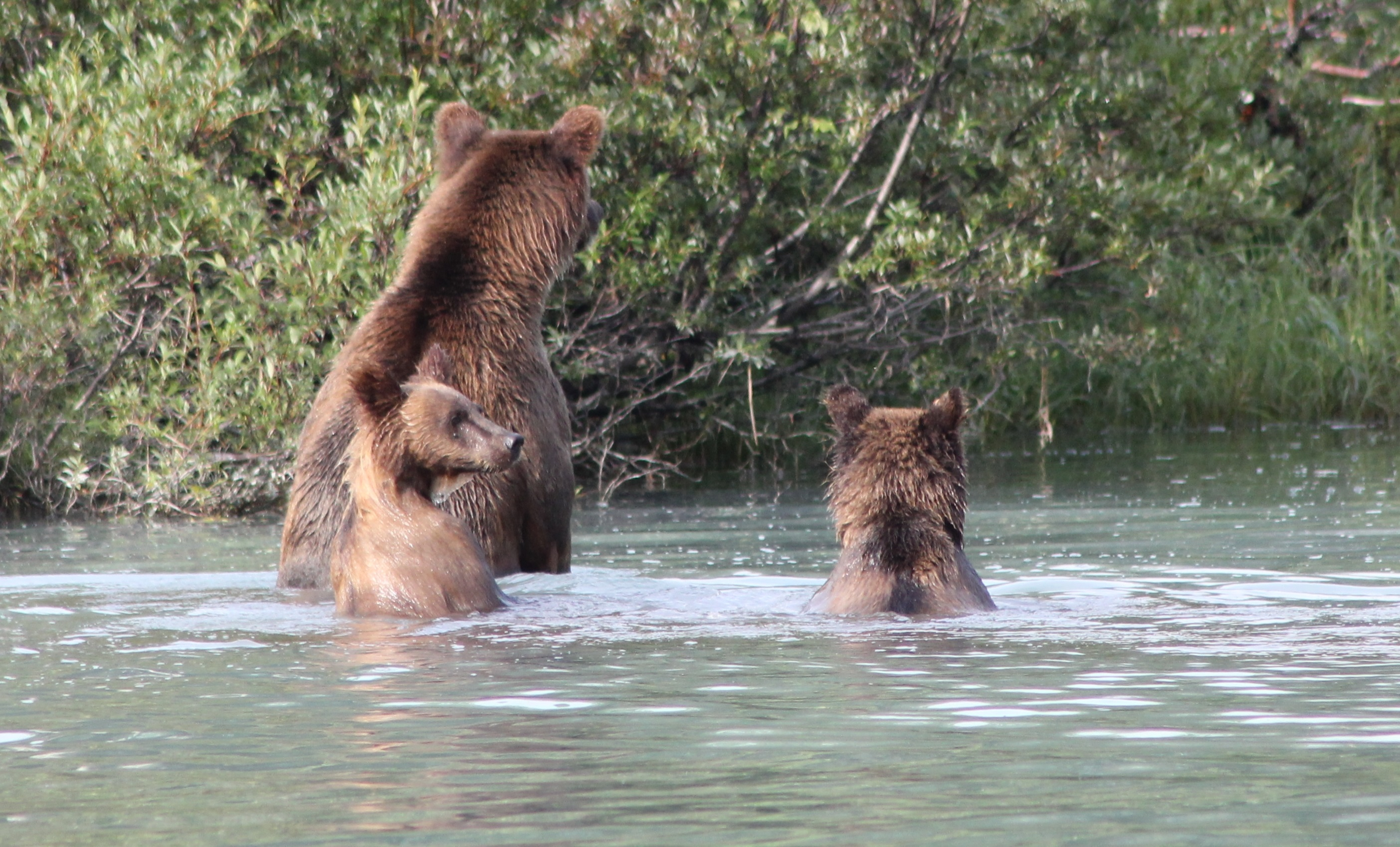 A sow with two cubs was our main viewing pleasure, as she patrolled the shoreline, taking careful regard and retreat at one point from a potential male bear threat (but ignoring us and anchored anglers), and taught her young how to fish for Sockeye Salmon in the lake's margins.