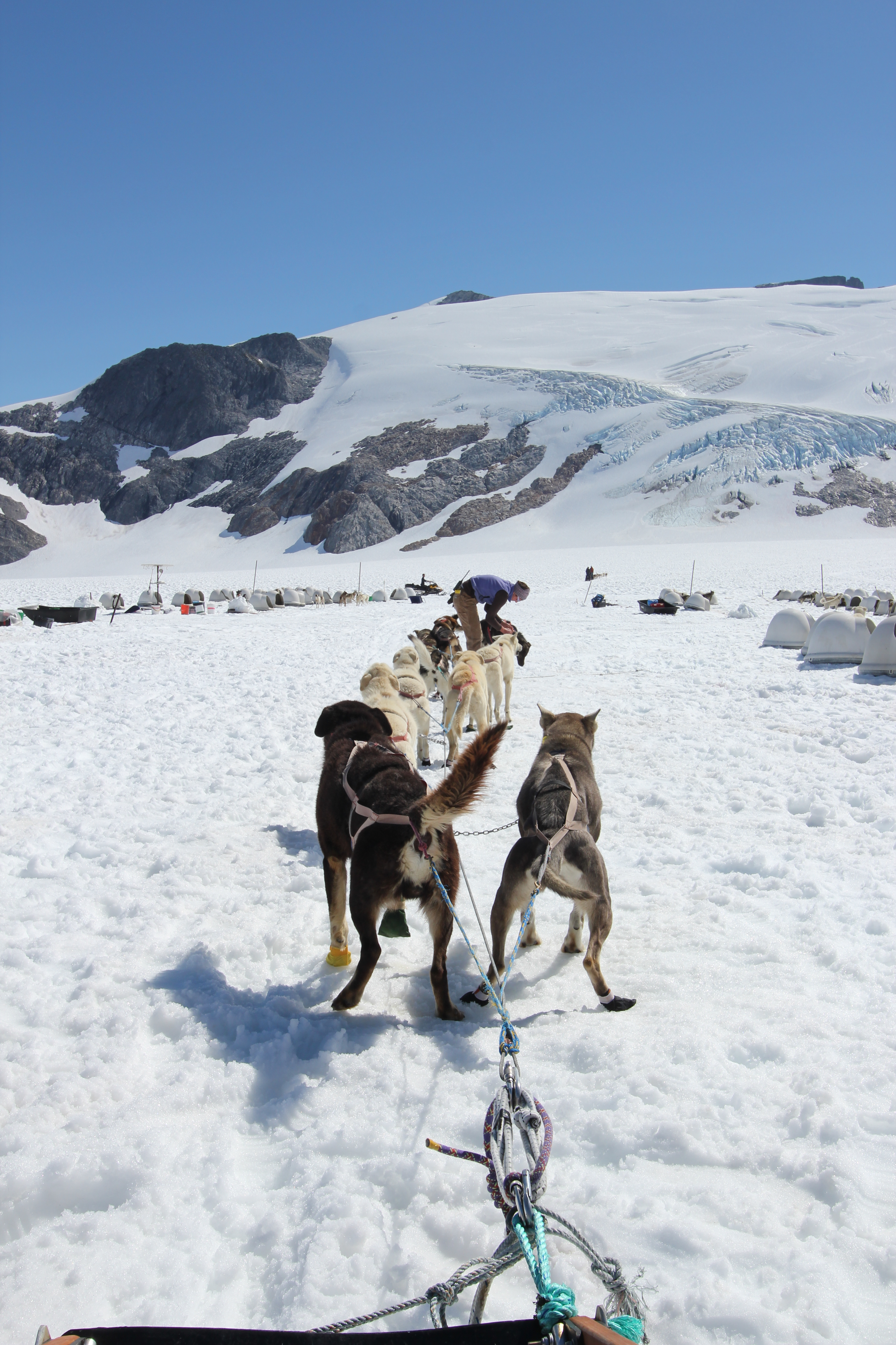 The dogs closest to the sled are the main powerhouse whilst the lead dog is trained as the team direction guide.