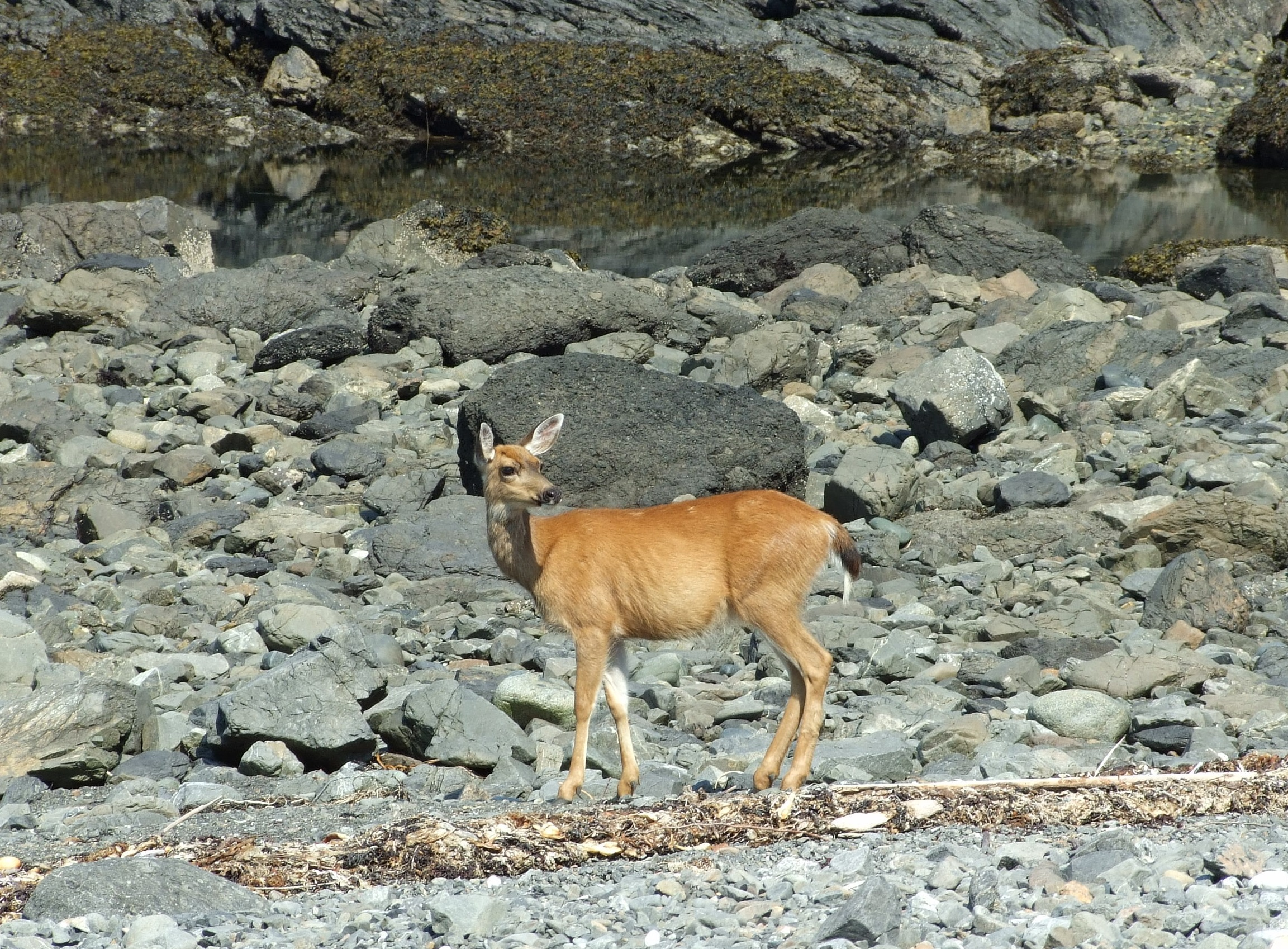 Moving down to the stony shore the doe made an arc between us and the ocean, and, occasionally pausing and checking back to make sure her fawn was following, headed up towards a tree-crowned tidal islet/spur…